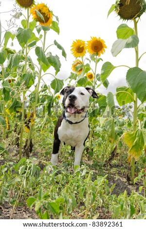 Young dog under sunflowers - stock photo