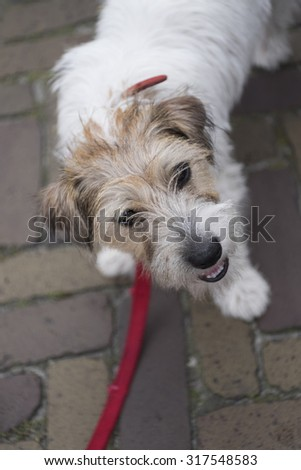 Young dog with red collar on a street looking into the camera - stock photo