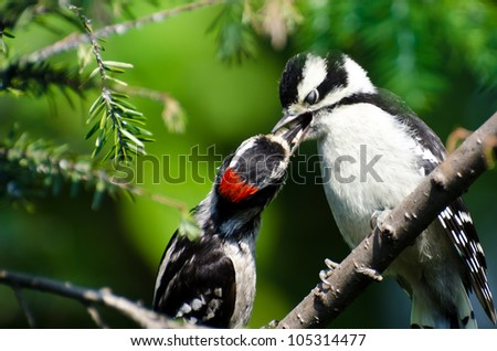 Young Downy Woodpecker Being Fed By Its Father - stock photo