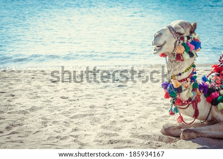 Young dromedary camel lying on the sand. - stock photo