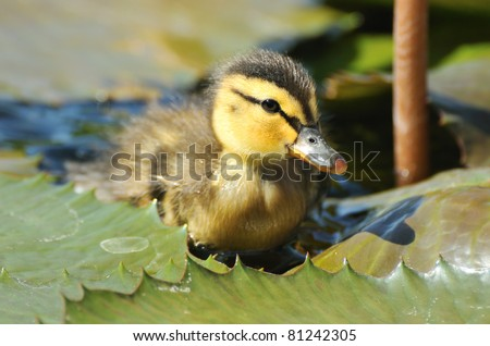Young duck climbing on water lily leaf - stock photo