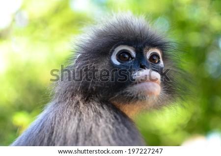 Young Dusky Leaf Monkey , focused on eyes. - stock photo