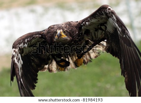 Young eagle flying - stock photo