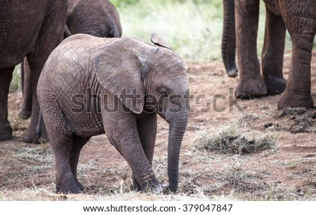 Young elephant - stock photo