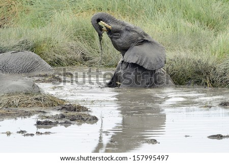 Young Elephant playing in a water pool. - stock photo