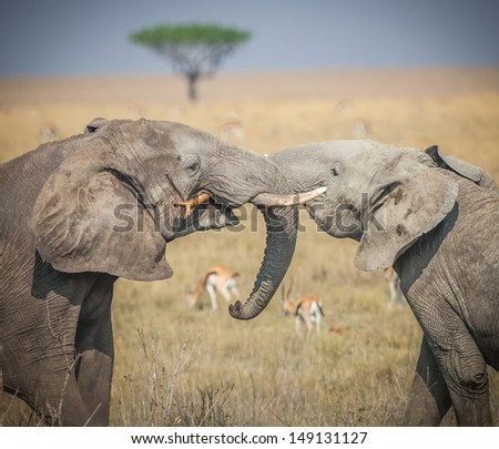 Young elephants lock trunks and tusks - stock photo