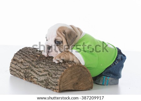 young english bulldog puppy wearing jeans and t-shirt isolated on white background  - stock photo