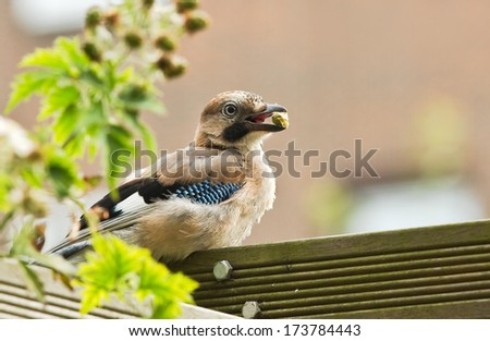 Young Eurasian Jay or Garrulus glandarius feeding in garden eating rose-hip - stock photo