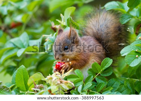 Young Eurasian red squirrel (Sciurus vulgaris) eating a rose hip. - stock photo