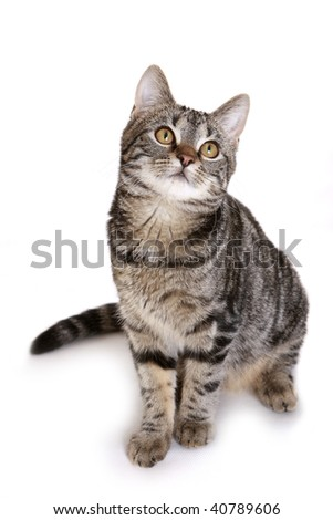 Young European Shorthair (5 months) in front of a white background - stock photo