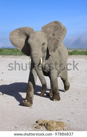 Young excitable elephant mock charges in East African National Park - stock photo