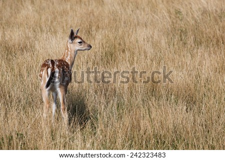 Young fallow deer in nature - stock photo