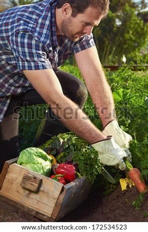 Young farmer man harvesting organic vegetables on a sustainable farm growing seasonal produce - stock photo