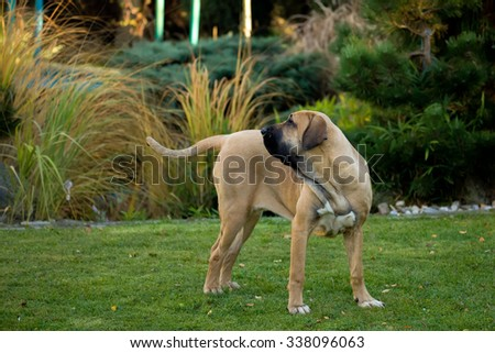 young female of Fila Brasileiro (Brazilian Mastiff) outdoor on green grass - stock photo