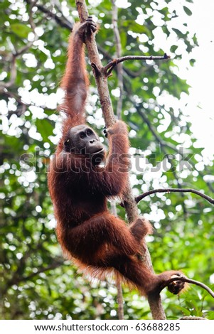 Young female orang utan hanging in a tree - stock photo