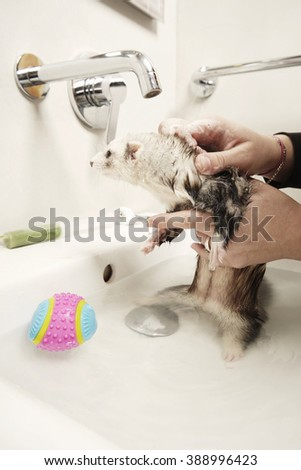 Young ferret female enjoying bath time - stock photo