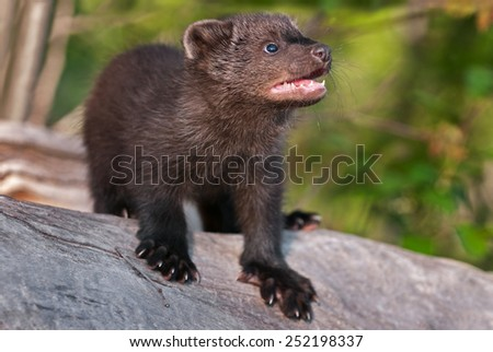 Young Fisher (Martes pennanti) Looks Up from Log - captive animal - stock photo