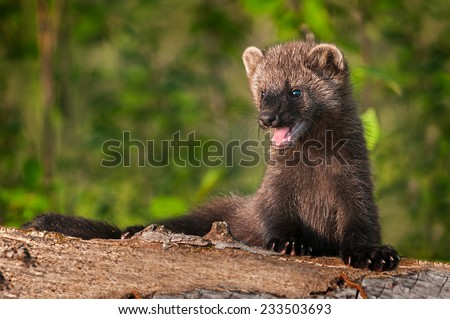 Young Fisher (Martes pennanti) Mouth Open on Log - captive animal - stock photo