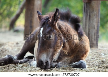 Young foal lying on the ground. Animal of farm - stock photo