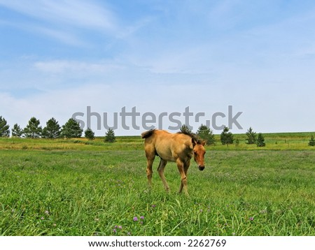 Young foal walking in a pasture on a summer day - stock photo