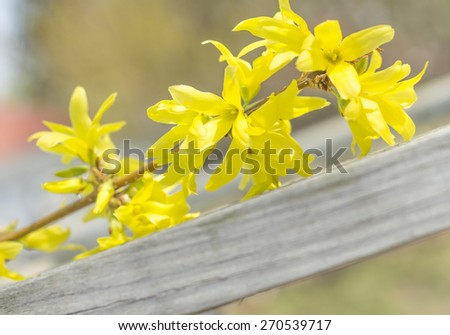 Young forsythia bushes in full bloom against an old fence - stock photo