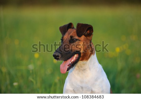 young Fox Terrier in the meadow - stock photo