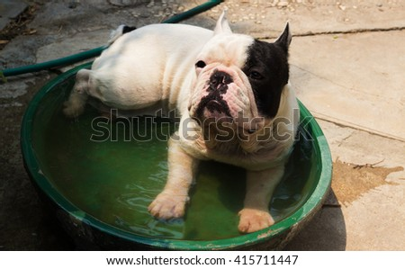 Young French Bulldog dog in a little pool. - stock photo