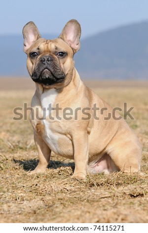 young French Bulldog puppie 11 months sitting  in the field portrait Franz�¶sische Bulldogge - stock photo