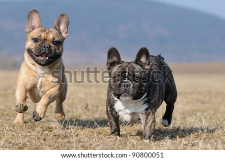 young French Bulldog puppy 11 months playing and fighting - stock photo