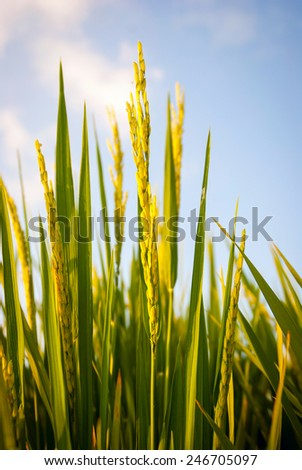 Young fresh green rice growing on a field, close up - stock photo