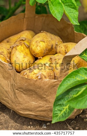 Young fresh natural German potato tubers  in  paper bag on green healthy potato leaves in  potato field background, close up - stock photo