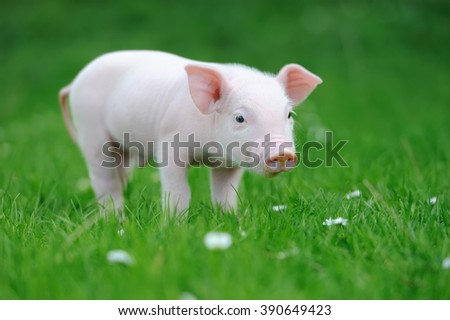 Young funny pig on a spring green grass - stock photo