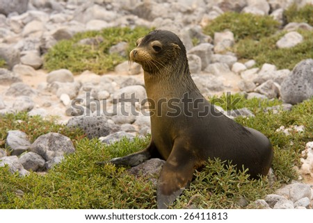 Young Galapagos sea lion (Zalophus wollebaeki, South Plaza Island, Galapagos, Ecuador) - stock photo