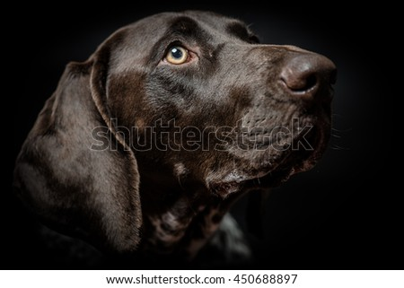 young German pointer dog  portrait on black - stock photo