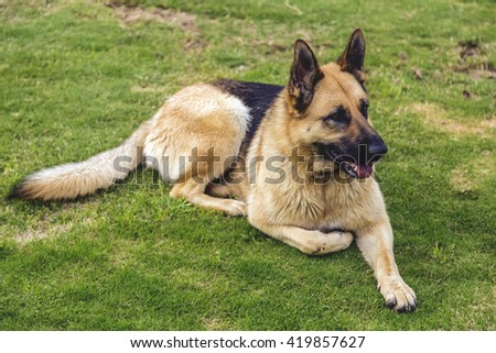 Young German shepherd dog resting on grass - stock photo