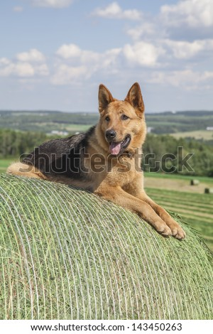 Young German Shepherd female dog laying on a bale of hay - stock photo
