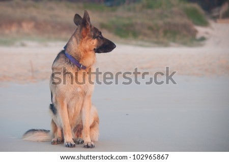 Young German Shepherd on the beach during sunrise - stock photo