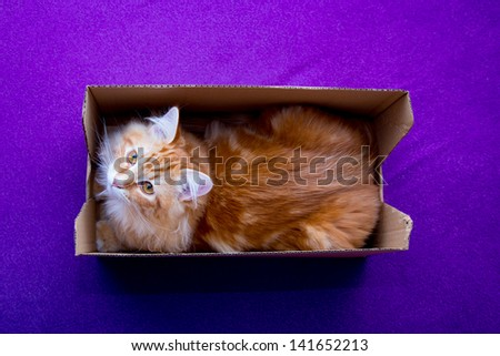 young ginger stripped siberian cat in the box - looking to the camera - stock photo