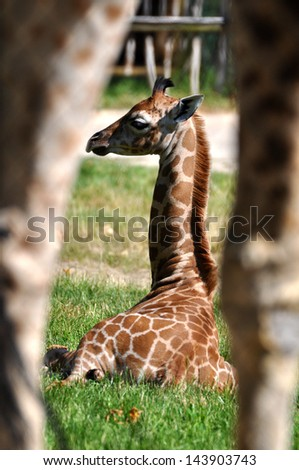 Young Giraffe - stock photo
