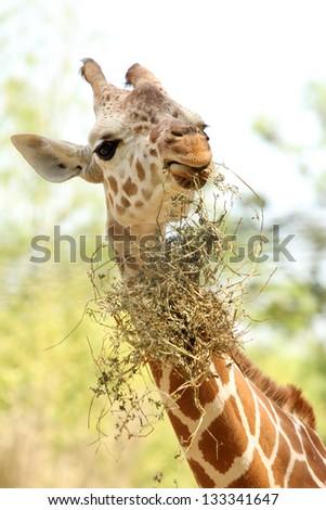 Young giraffe eating - stock photo