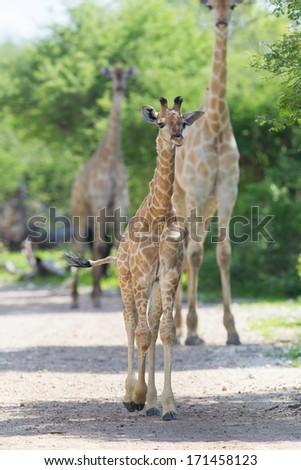 Young giraffe in Etosha national park, Namibia, Africa - stock photo