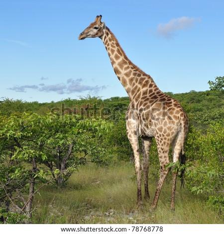 young giraffe in Etosha national reserve - stock photo
