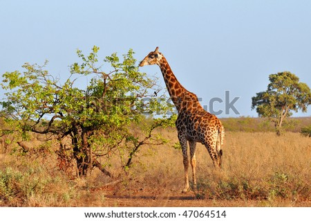 young giraffe in morning sunshine - stock photo