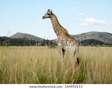 Young giraffe in Pilanesberg park South Africa - stock photo