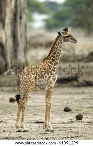 Young giraffe in the Serengeti, Tanzania, Africa - stock photo