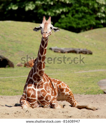 Young giraffe in  wroclaw zoo, europe, poland - stock photo
