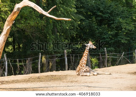 Young giraffe resting in a zoo. - stock photo