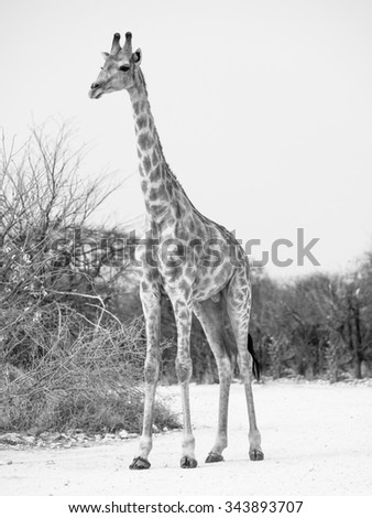 Young giraffe standing on the dusty road, Etosha National Park, Namibia. Black and white image. - stock photo