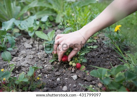 Young girl / woman harvesting fresh strawberry on huge field; hard work - stock photo
