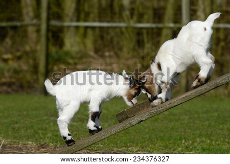 Young Goat - stock photo